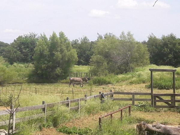 Donkey, longears, pony project, project horse, project donkey, training, horse training, donkey training, natural horsemanship, Kimball Ranch