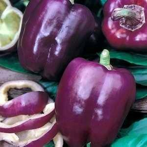 PURPLE BEAUTY SWEET BELL PEPPER