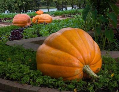 ATLANTIC GIANT PUMPKIN