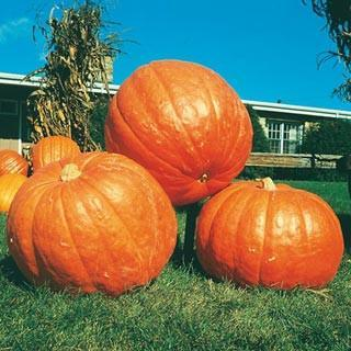 BIG MAX PUMPKIN - ORGANIC