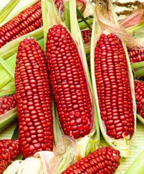 BLOODY BUTCHER SWEETCORN - ORGANIC