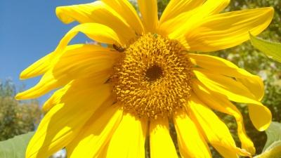 Village Garden sunflower