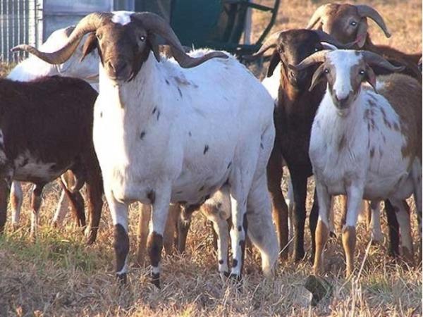Rams/Sheep
