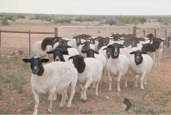 Ewes/Sheep