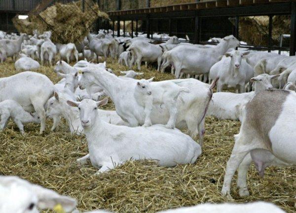 Merino Goats