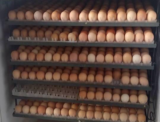 Chicken Fertilized Eggs