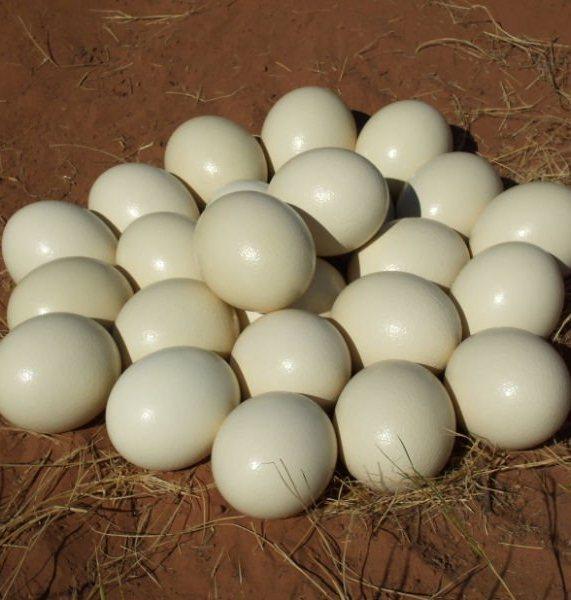 Fertilized Ostrich Eggs