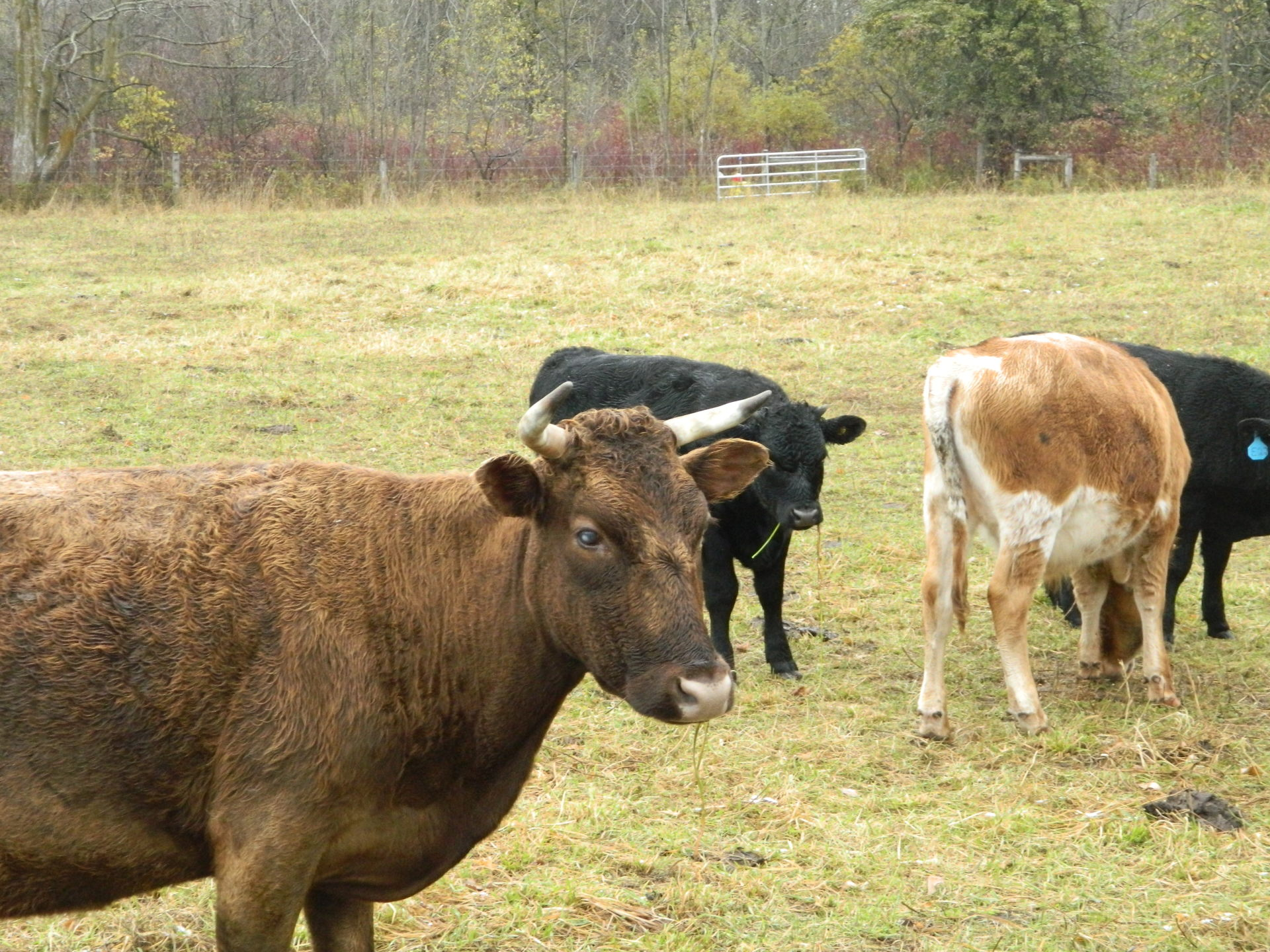 Grand opening of Cody's Cows farm store puts local farm