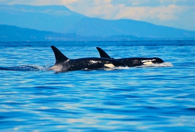 An Encounter with Killer Whales Sparks a Career Change