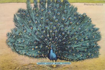 FL-112 Peacock