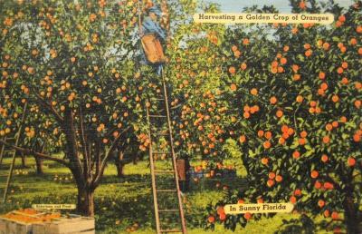FL-113 Oranges