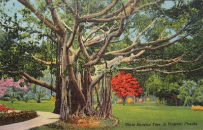 FL-146 Giant Banyan Tree