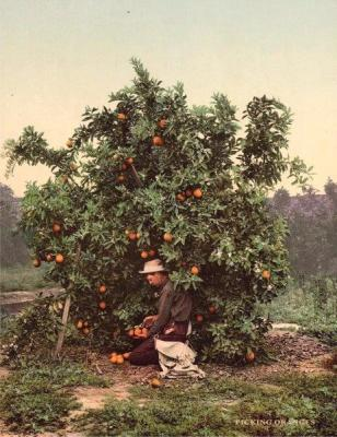 FL-164 Picking Oranges