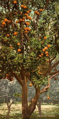 FL-165 Orange Trees