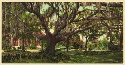 FL-173 Florida Oak Tree c.1902