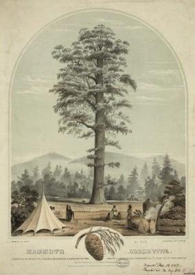 CA-104 Mammoth Arborvitae c.1862