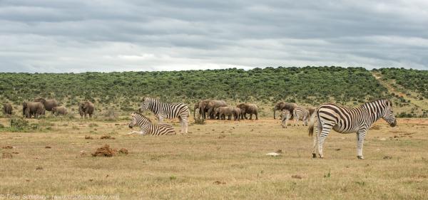 Ele's and Zebras