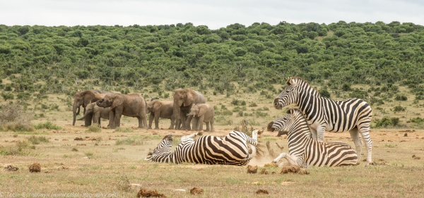 Zebras having a dust bath