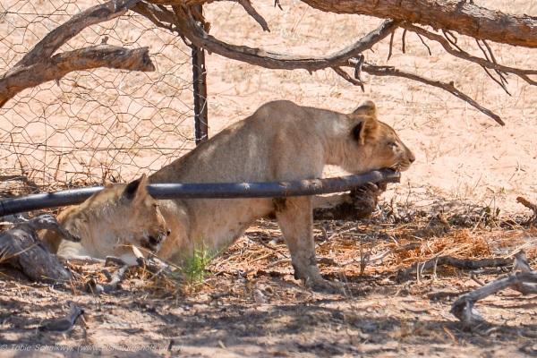 Lion cub fun