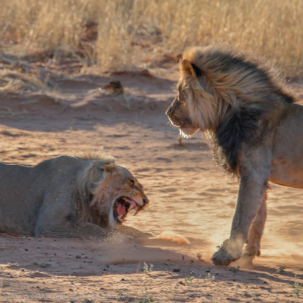 Lion cub confrontation