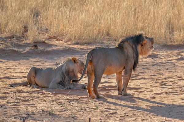 Lion cub confrontation
