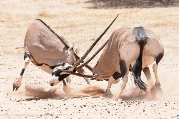 Oryx vs Blouwildebeest