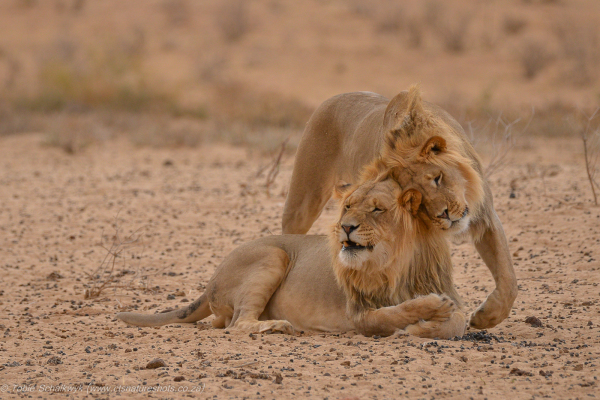 Lion brother love
