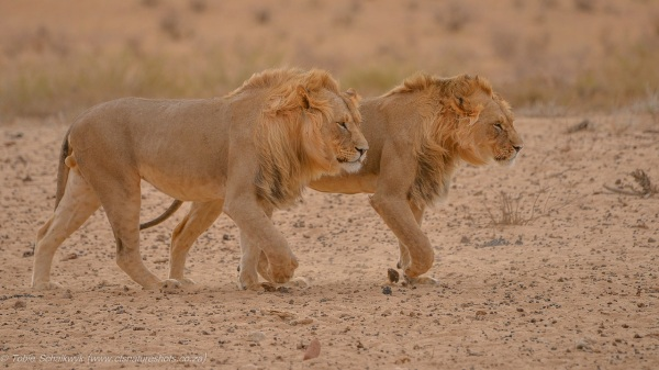 Lion coalition