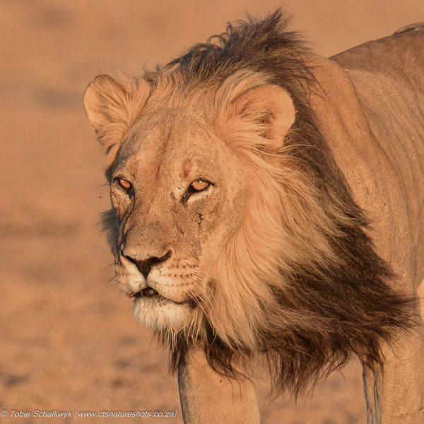 Lion male focus