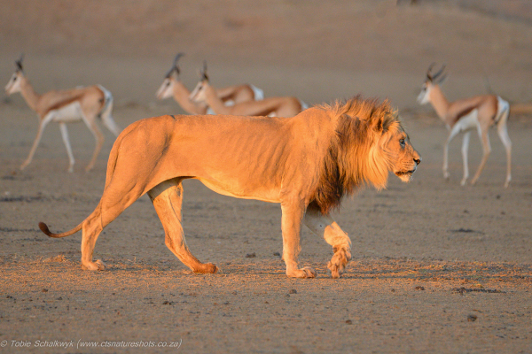 Lion in the setting sun