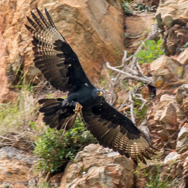 Verreaux' Eagle