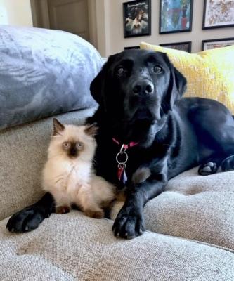 Ragdoll Breeders | Alabama | Ragdoll Kittens
