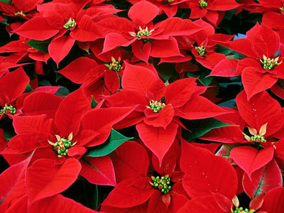 Popular Christmas or Holiday Plants - Poisonous to Pets