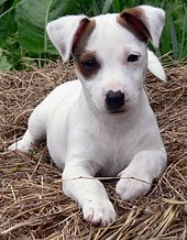 Top 10 'Small Breed' Dogs