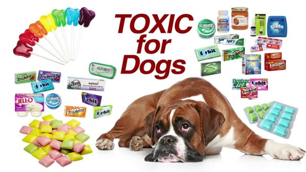 Why the Sweetener Xylitol is Harmful to Your Dog
