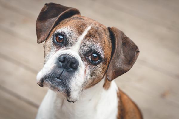 Gold Souls, Gray Faces: 7 Tips For Walking Senior Dogs