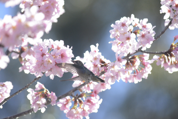 Sakura Hum