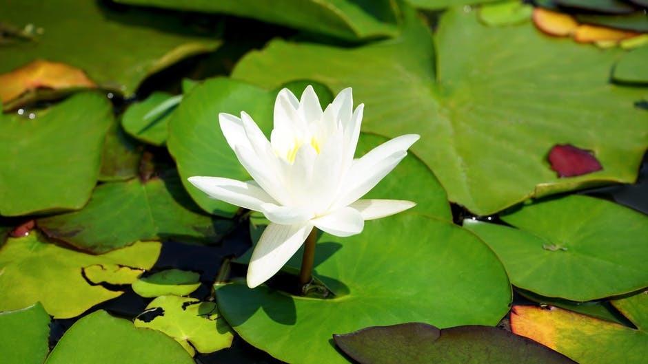 Serenity of Koi Pond Maintenance
