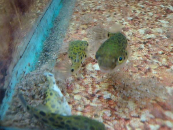 Puffer fish starvation