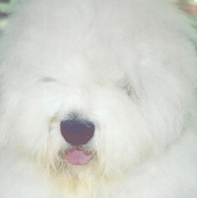 Old English Sheepdog Breeder | Puppies For Sale | Sheepdogs