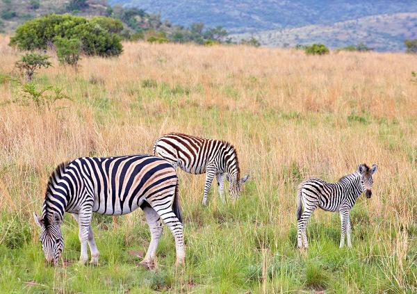 """""""Zebra Trio"""""""