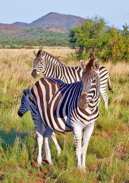 """""""Zebra Family"""""""