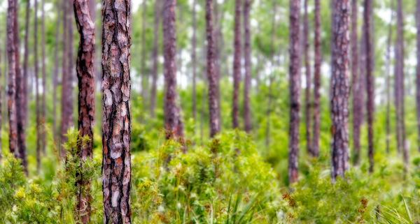 """Glades Pines'"""