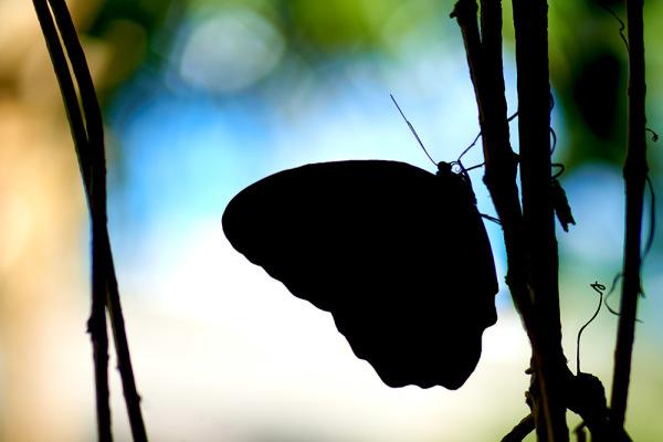 Butterfly Silhouette