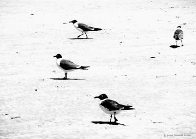 BIRDS  ON  SOUTH  AFRICAN  BEACH