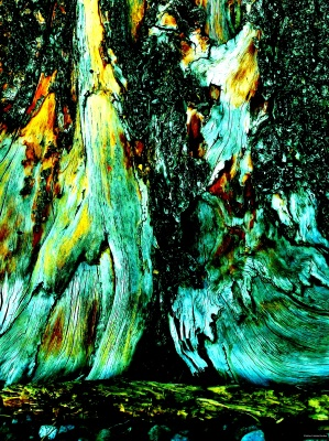 TREE  TRUNK  ONE