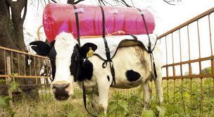 Επιχειρηματικές ιδέες: Τώρα συλλέγουν τα αέρια των… αγελάδων!