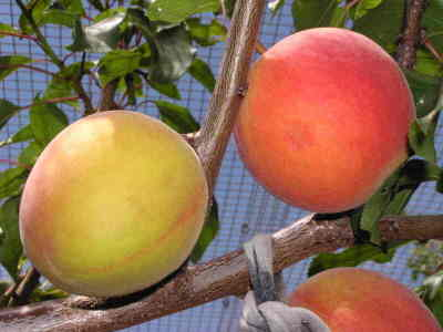 Apricots and Nectarines