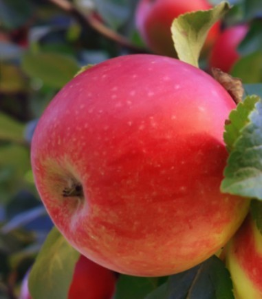 Jonathon Apple