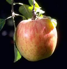 Gravenstein Apple
